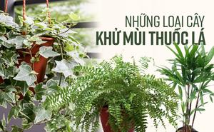 Đánh bay mùi thuốc lá trong phòng bằng cách trồng 8 loại cây xanh dưới đây
