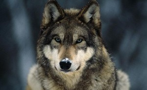 Có 4 kiểu người trên đời: Bạn nên sống và làm việc như gấu, sư sử, sói hay cá heo?