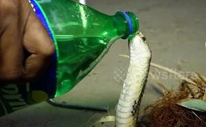 Video: Bất ngờ với cảnh rắn hổ mang chúa uống nước từ chai như người