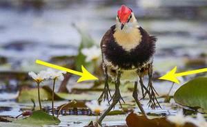 Tưởng bị nhiễm phóng xạ mọc ra 10 chân, sự thật về con chim kỳ lạ lại khiến Internet cảm phục