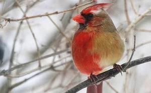 Con chim kỳ lạ này có bộ lông nửa trống nửa mái, và sự thực đằng sau sẽ khiến ai cũng sửng sốt
