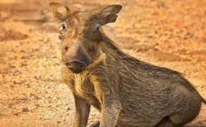 Nhân năm Kỷ Hợi tìm hiểu loài lợn cực thú vị: Mang ngà như voi, lại có đến 4 cái