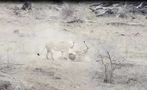 VIDEO: Sư tử đực vô tình cứu lợn rừng thoát khỏi 'tử thần'