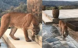 Hốt hoảng nhận ra con vật trong sân không phải chó... mà là sư tử!