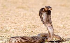Kỳ đà bị rắn hổ mang chúa khổng lồ 'quây bắt'