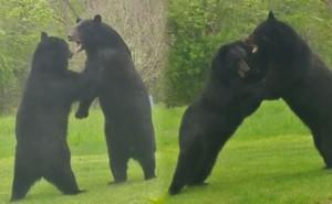 Thích thú hình ảnh hai con gấu đen hỗn chiến như đang 'cãi nhau'