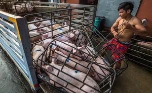 Sự thật tàn khốc đằng sau những lò giết mổ lợn ở Thái Lan với nỗi đau thấu tim can không ai biết