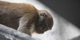 Hai con khỉ hoang quậy phá khu dân cư ở Hà Nội: Dùng ống thổi thuốc mê bắt không thành