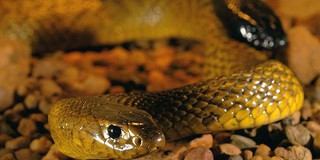 Những loài rắn độc nhất thế giới: Có con dài đến 3,1m