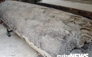Ngôi làng ở Hưng Yên: Cứ đào xuống đất là trúng mộ thân cây vài ngàn năm tuổi