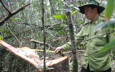 Quảng Nam: Rừng Pơ mu ở biên giới Việt Nam – Lào bị tàn sát