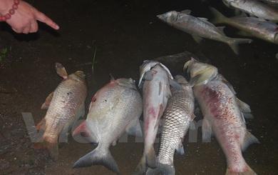 Kinh hoàng cá chết dạt vào bờ dài cả cây số ở hồ Linh Đàm