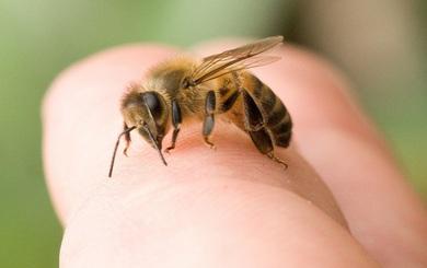 Bị ong đốt nên làm thế nào? Đây là cách xử lý bạn nên biết phòng khi cần dùng đến