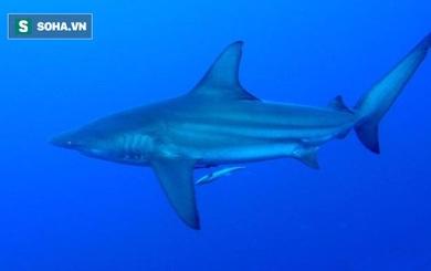 Bất ngờ: Loài cá mập câu được ở Quảng Ninh bị liệt vào Sách Đỏ!