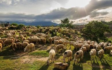 Tìm ra nguyên nhân bất ngờ khiến hơn 200 con cừu nhảy xuống vực tự sát tập thể