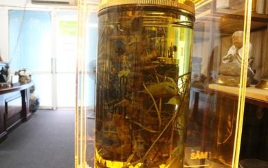 Củ sâm Ngọc Linh lớn nhất thế giới tại Việt Nam, đại gia Hàn trả tiền tỷ không bán