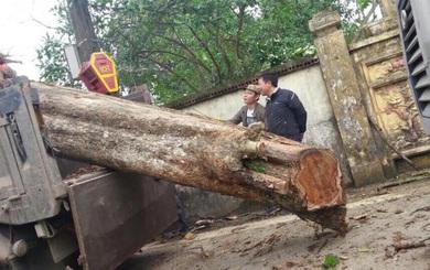 Cây sưa trong vụ xô xát ở Bắc Ninh được bán giá 26 tỷ