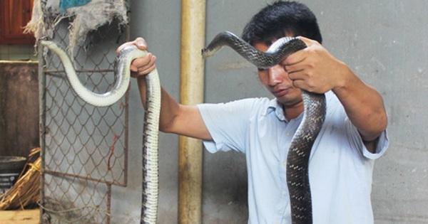 Xây trại rắn hổ trâu lớn nhất Hà Nội, lãi mỗi năm không dưới 500 triệu