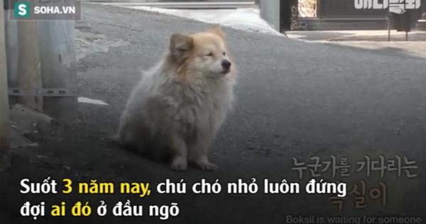 3 năm trông nhà đợi chủ, chuyện của chú chó nhỏ có tên Boksik