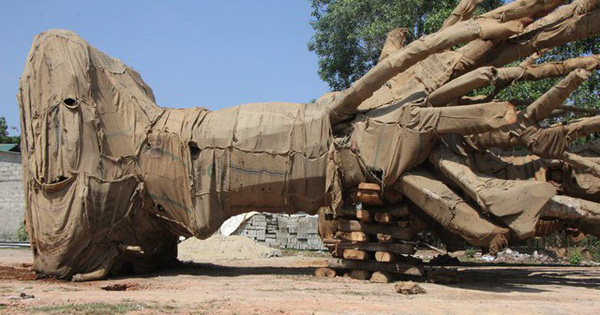 Vụ CSGT bắt 3 xe chở cây khổng lồ: Tiền mua 'cây khủng' chỉ 14 triệu đồng