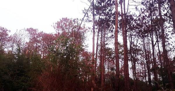 """Sửng sốt hàng ngàn cây thông bị """"đầu độc"""" chết chỉ trong 10 ngày"""