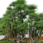 """180 triệu đồng chậu bonsai """"rừng mai chiếu thủy"""" hút tài lộc"""