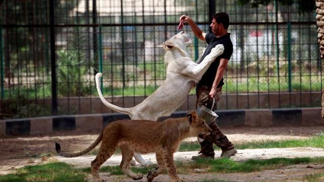 24h qua ảnh: Thót tim cảnh cho sư tử trắng ăn thịt ở Iraq