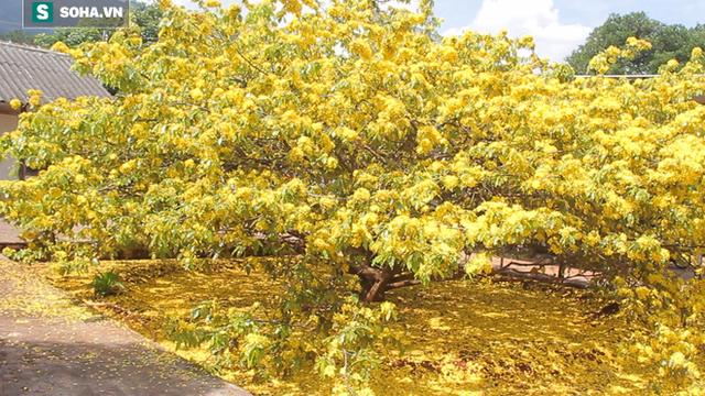 Cận cảnh cây mai được trả giá 2 tỷ ở Đồng Nai