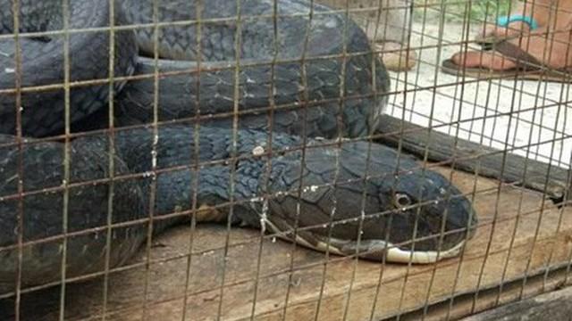 Hổ mang chúa dài hơn 5 mét diệt gọn một con trăn