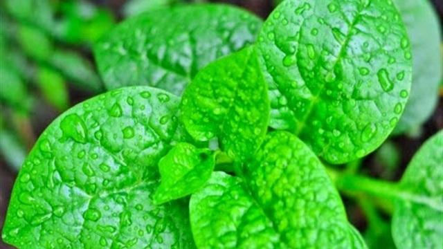 Với loại rau rất quen thuộc này bạn hoàn toàn có thể chế biến thành món ăn - bài thuốc chữa bệnh