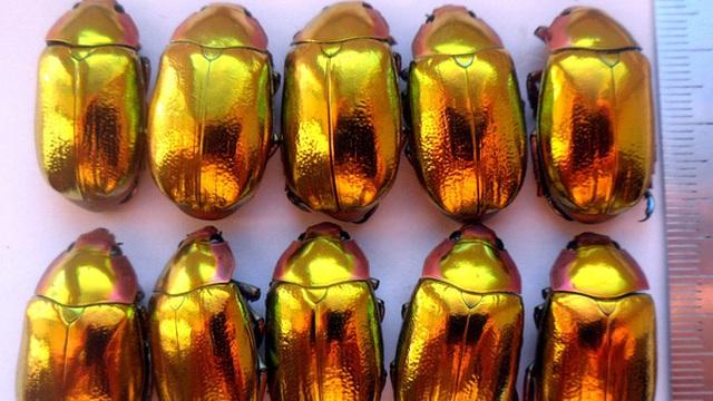 Nhìn bọ hung mà tưởng cục vàng, và các nhà khoa học đã khám phá ra bí mật đằng sau màu sắc ảo diệu của chúng