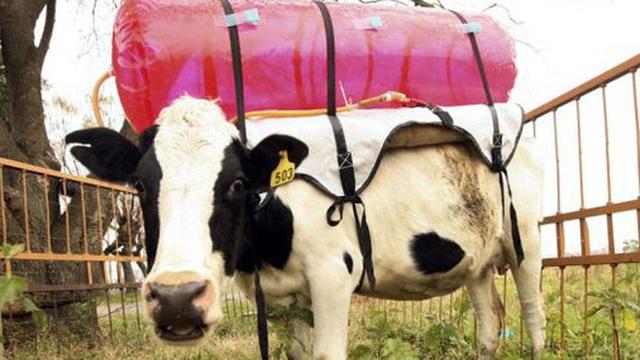 """Làm quen với những """"siêu bò"""" chống biến đổi khí hậu của nông dân Ireland"""