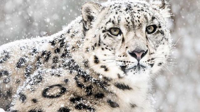 Loài báo quý hiếm nhất thế giới chính thức bị gạch tên khỏi Sách Đỏ