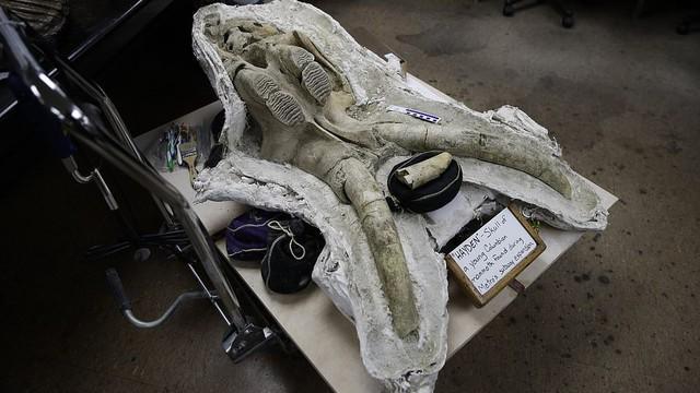 Đào đường hầm, công nhân ngỡ ngàng khi tìm thấy hóa thạch động vật 10,000 năm từ kỷ Băng Hà