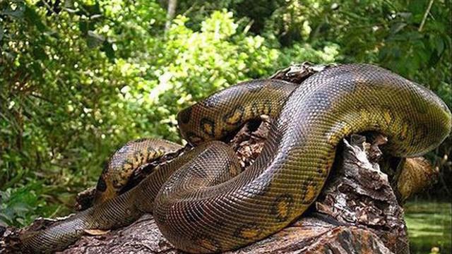 Anconda xanh, huyền thoại trăn khổng lồ Nam Mỹ