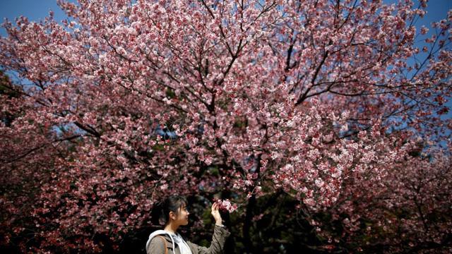 24h qua ảnh: Thiếu nữ ngắm hoa anh đào nở rộ ở Nhật Bản