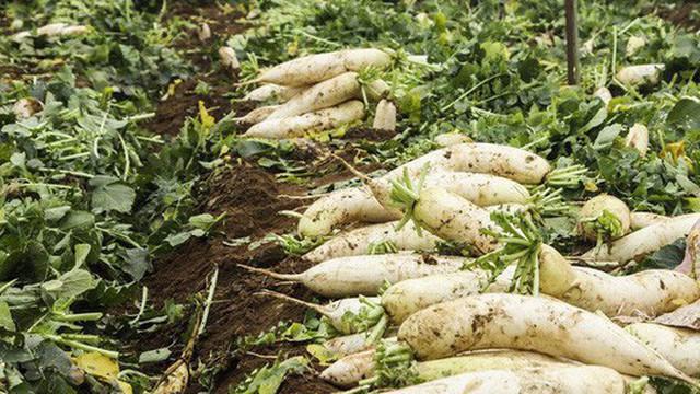 Nông dân nhổ bỏ, người tiêu dùng vẫn phải mua rau củ đắt 10 lần