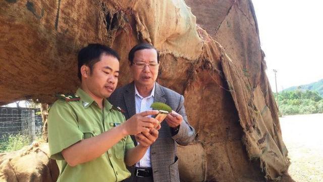 """3 cổ thụ """"khủng"""" đốn ở rừng Tam Giang?"""