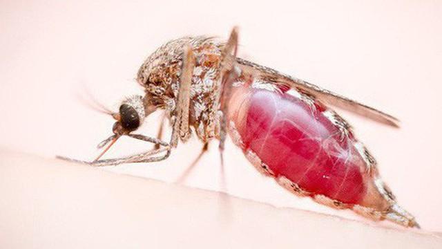 Bằng máu, mồ hôi và hàng chục vết đốt, chàng nhiếp ảnh gia cuối cùng cũng chụp được những bức ảnh hoàn hảo về loài muỗi