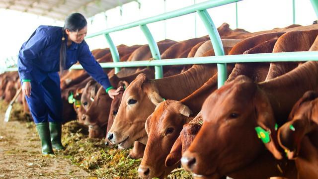 Số phận đàn bò nghìn tỷ của bầu Đức trong năm 2018 sẽ ra sao?