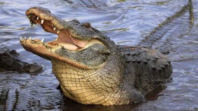 Phát hiện cánh tay người trong bụng cá sấu dài 3m
