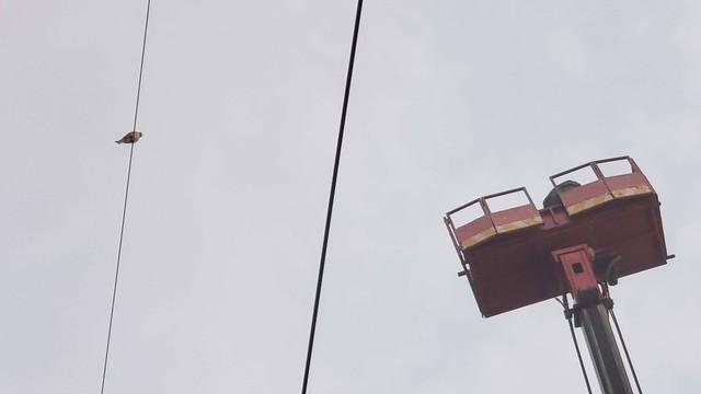 Giải cứu chim Cắt lưng xám quý hiếm mắc kẹt trên dây điện ở Sài Gòn