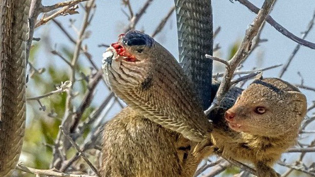 Cầy Mangut cắn nát đầu, ăn tươi nuốt sống loài rắn kịch độc ngay trên cây