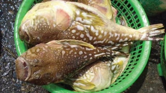 Lại có ngộ độc cá nóc: Gặp họa vì chủ quan