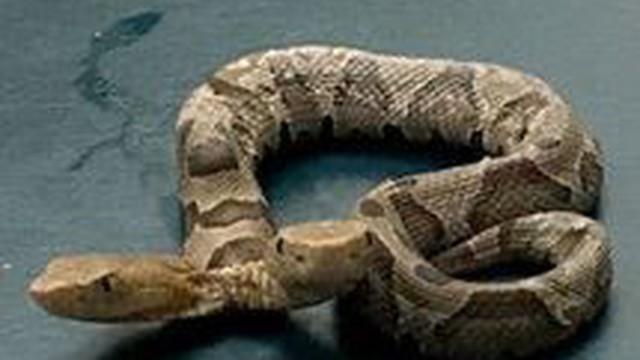 Rắn hai đầu hiếm thấy vừa được phát hiện tại Mỹ