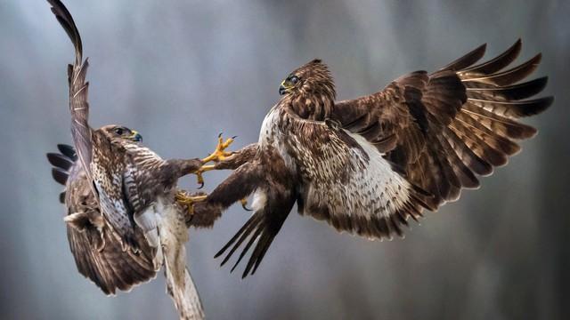 24h qua ảnh: Chim ó không chiến để giành thức ăn