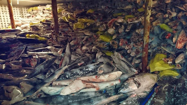 Vây cá mập đắt cỡ nào mà nhiều người TQ bất chấp tù tội để săn bắt, buôn bán?