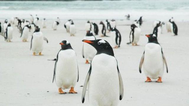 Quá mệt mỏi với bè lũ chim cánh cụt cùng 6000 con cừu, gia đình người Anh rao bán cả hòn đảo tặng kèm mọi con vật trên đó