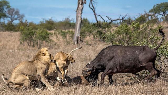24h qua ảnh: Trâu rừng dũng mãnh  đuổi cả đàn sư tử cứu đồng loại