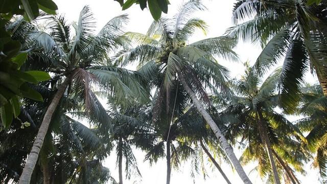 Mưu sinh trên những ngọn dừa ở đảo dừa Tam Hải